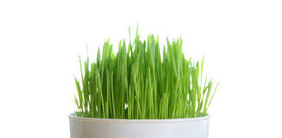 Wonders of Wheat Grass